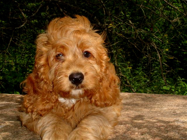 Cockapoo Puppies for Sale - Cockapoo Breeder - Cockapoo of Excellence