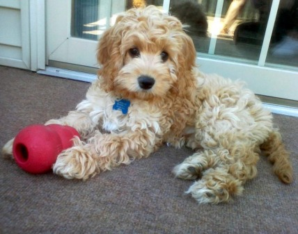 Cockapoo Puppies For Sale Cockapoo Of Excellence Cockapoo