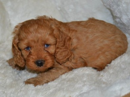 Cockapoo Puppies for Sale | Cockapoo of Excellence
