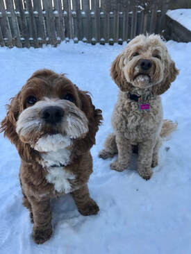 Cockapoo Puppies for Sale, Professional Dog Breeders
